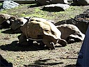 Tortoise On Wheels